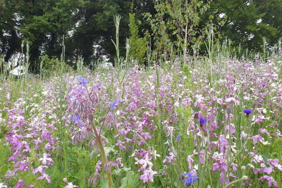 Pictorial Wildflower Meadow